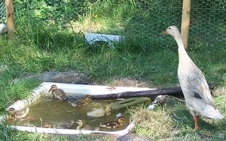 Indische Laufente - Geflügel, Nutztiere, Ente, Laufente, Küken, Entenküken, baden, schwimmen, Flaschenente