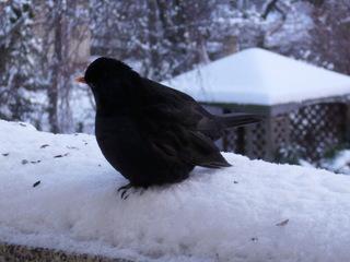 Amsel im Schnee - Winter, kalt, Schnee, Vogel, Amsel, Männchen, Schnabel, orange, Federn, schwarz, Futter, Hunger, Vogelfütterung, Winterfütterung