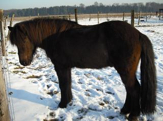 Islandpony #2 - Haustier, Nutztier, Pferde, reiten, Hobby, Zaumzeug, Halfter, braun, Haflinger, Pferd, blond, genügsam, trittsicher, geländegängig, klein, robust, Pony, Huf, Einhufer, Halfte