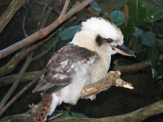 Kookaburra - Kookaburra, Australien, Australia, Vögel, Tiere, Kooky, Lachender Hans, Jägerliest, Eisvogel