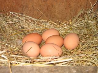 Hühnereier - Hühner, Huhn, Eier, Ei, Hühnerei, Stall, Bauernhof, Ostern, Stroh, Nest, sechs, braun
