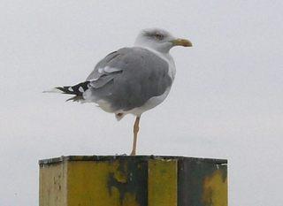 Möwe - Möwe, Bein, Wasservogel, fliegen, Hafen, See, Vogel
