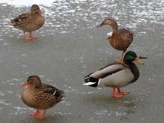 Stockenten auf dem Eis - Ente, Enten, Wasservögel, Stockente, Teich, See, Eis, Erpel, vier, drei
