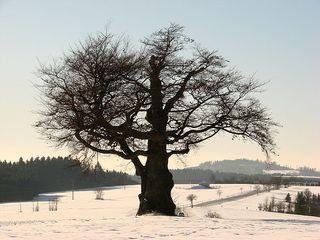 Baum im Winter 3 - Laubbaum, Winter, wachsen, Blätter, Blatt, Stamm, Äste, verzweigt, Silhouette, Struktur, Schnee