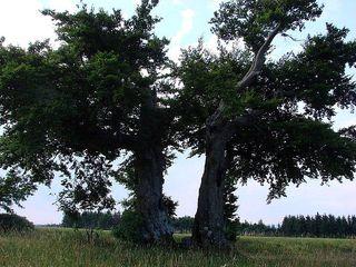 Bäume im Sommer 2 - Laubbaum, Sommer, wachsen, Blätter, Blatt, Stamm, Äste, verzweigt