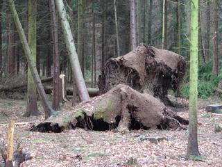 Orkanschaden von Kyrill  - Orkan, Kyrill, Sturm, Sturmschaden, Holzbruch, Klimawechsel, Holz, Waldschaden, Schwerpunkt, Kraft, Physik, Windkraft, entwurzelt, Wurzel, Wetter, Wald, Monokultur, Forstwirtschaft, Holzwirtschaft