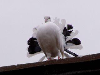 Taube auf dem Dach - Kleintier, Vogel, Taube, Kleintierzucht, Brieftaube, Haustier
