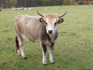 Rind - Rind, Haustier, Masttier, Säugetier, Wiederkäuer, Nutztier, Hornträger, Jungtier, Kuh, Färse, Bulle, Kalb