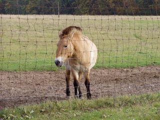 Przewalski-Wildpferd - Equus ferus przewalskii, Takhi, Pferd, Wildpferd, Przewalski-Wildpferd, Unpaarhufer, Wildform