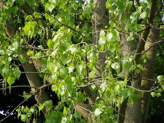 Blütenstand der  Pappel - Pappel, Blüte, Populus, Windbestäuber, Laubbaum, Weidengewächs, Papiergewinnung, Holzgewinnung, Energiegewinnung, Blütenstand, grün