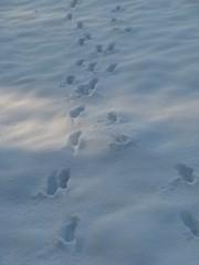 Spuren #2 - Spuren, Reh, Schnee, Fußabdruck