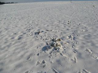 Spuren #3 - Reh, äsen, Schnee, Fußabdruck, Trittsiegel