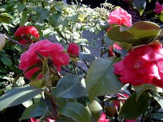 Kamelien - Pflanze, Blüte, Blätter, Teestrauchgewächs, Zierpflanze, Laubblätter, gestielt, Kamelie