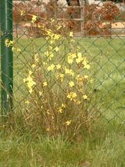 Blühende Pflanze im Winter - Jasmin, Winterjasmin, Nacktblütiger Jasmin, Gelber Winterjasmin, Echter Winterjasmin, Ölbaumgewächs, Zierpflanze