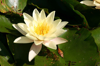 Seerose - Weiße Seerose, Nymphaea alba, Seerosengewächs, Seerose, weiß, Blüte, Teich, Wasserpflanze