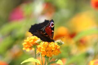 Tagpfauenauge (Schmetterling) - Tagpfauenauge, Insekten, Schmetterlinge, Edelfalter, Fleckenfalter, Inachis io