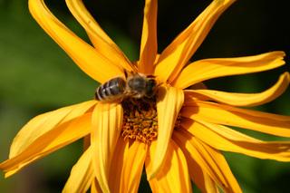 Honigbiene - Biene, Honigbiene, Apis, Honig, September