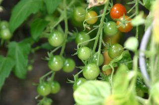 Cocktailtomaten - Cocktailtomate, Tomate, September, Garten, Nachtschattengewächse, Potatoe, Solanum lycopersicum, reif, unreif