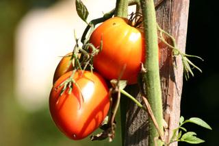 Tomate - Tomate, Solanum lycopersicum, Nachtschattengewächse, Potatoe