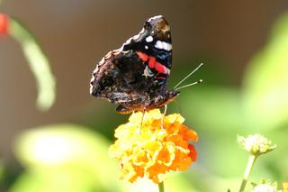 Admiral  - Edelfalter, Vanessa atalanta, Schmetterling, September, Insekten, Falter