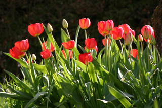 Tulpen rot - Tulpe, rot, April, Frühling, Blume, Frühblüher, Zwiebelgewächs, grün