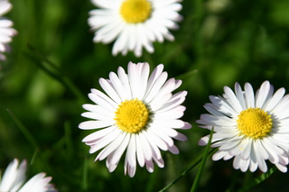 Gänseblümchen - Gänseblümchen, Blume, Wiese, Frühling, bellis perennis