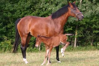 Stute mit Fohlen #5 - Fohlen, Warmblut, Pferdebaby, Jungtier, Einhufer, Pferd, Stute