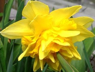 Osterglocke  - Osterglocke, Amaryllisgewächs, einkeimblättrig, Zwiebelgewächs, Schnittblume, Narzisse