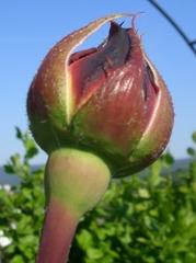 Rose - Knospe - Rose, Schnittblume, Knospe, Rosengewächs, rot, Naturform