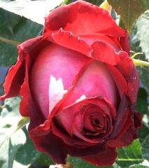 Rose - Rose, Schnittblume, Knospe, Rosengewächs, rot, Naturform, Draufsicht, Rosenblüte, Schnittblume