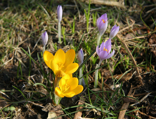 Krokusse  - Blüten, Frühling, Blumen, Frühblüher, Schwertliliengewächse, Iridaceae, Staubgefäß, Blütenblatt, Zwiebelknolle, Knolle, lila, gelb, Krokus