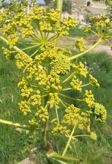 Wilder Fenchel - Blüte - Apiaceae, Doldenblütler, Foeniculum vulgare, zweijährig, mehrjährig, Gewürzpflanze, Heilpflanze, Gemüsepflanze, Fenchel, Bitterfenchel