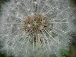Pusteblume  - Pusteblume, Löwenzahn, Samen