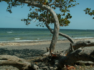 Ein Baum am Meer - Baum, windschief, Meer, Strand, Stamm