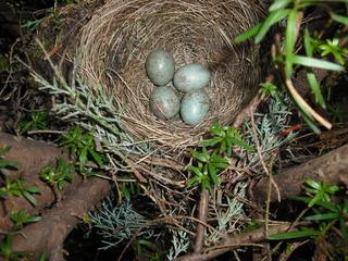 Amselnest mit Gelege - Amsel, Singvogel, Nest, Gelege, Brut, vier, Vogelei, brüten