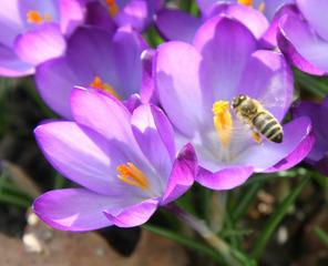 Krokus mit Biene - Krokus, Frühling, Biene
