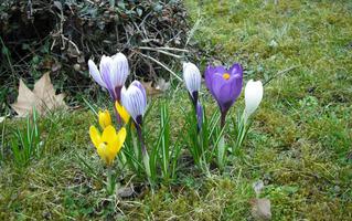 Frühling .... - Krokus, Frühling, Frühblüher