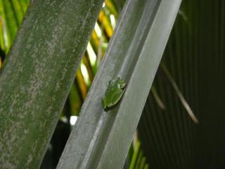 Baumfrosch - Baumfrosch, Baum, Frosch, endemisch, Tarnung, Tarnfarbe