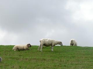 Schafe - Schaf, Deich, Nutztier, Wolle, drei, Haustier, Schafe, weich, weiden, Weide, Milch, Fleisch, Paarhufer, Wiederkäuer