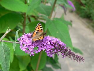 Schmetterling auf Schmetterlingsflieder - Schmetterling, Sommer, lila, Insekt, Blume, Flieder, kleiner Fuchs