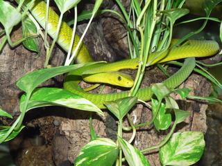 Grüne Mamba - Schlange, giftig, grün, Mamba, Giftschlange, hellgrün, Neurotoxin, Schuppen, Tarnung, Tarnfarbe