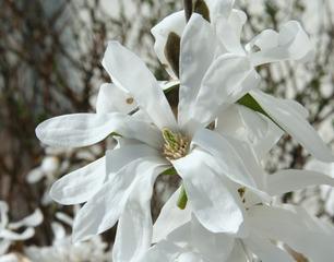 Sternmagnolie - Sternmagnolie, Magnolia stellata, Magnolie, Blüte, Ast, Zweig, weiß
