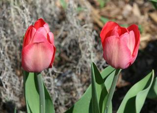 Tulpen in Blüte - Frühling, Frühjahr, Frühblüher, Tulpe, Blüte, Zwiebelgewächs, Tulipa, Liliengewächs, Zwiebelblume, Schnittblume, Blüte, rot, zwei