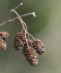 Erlenfrucht - Erle, Schwarzerle, Birkengewächs, Alnus, Betulaceae, einhäusig