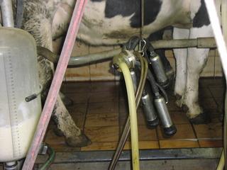 Kühe melken - Kuh, Milch, Melken, Vorrichtung, Muttertiere, Euter, Melksystem, Zitzen, pulsierend, Unterdruck, Melkbecher, Melkschlauch