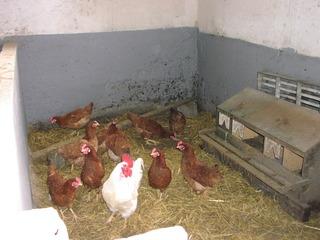 Hühner - Hühner, Tiere, Bauernhof, Huhn, Hahn, Henne, Haustier