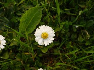 Margerite - Margerite, Korbblütler, Zierpflanze, Wiesenblume, Blume, Zweikeimblättrig, krautig