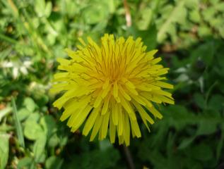 Löwenzahnblüte - Löwenzahn, Korbblütler, Taraxacum, gelb, Blüte, blühen, Blütenstand, Wiese, Frühblüher