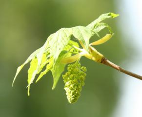 Bergahorn - Blütenstand - Ahorn, Blatt, Ahornblatt, Laub, Bergahorn, Laubbaum, Blüte, Blütenstand, Blütenknospen