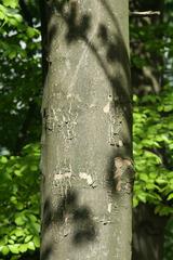 Bergahorn - Stamm - Ahorn, Stamm, Rinde, Holz, holzig, Baumrinde, Borke, Gehölz